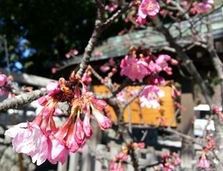 河津桜(鎌倉宮)