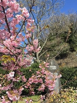 鎌倉二階堂「首塚」の河津桜