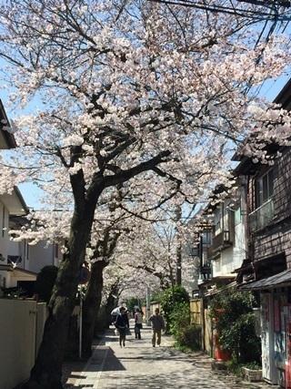 鎌倉雪ノ下「修道院通り」の桜並木