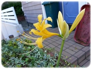 黄色い彼岸花の咲き始め