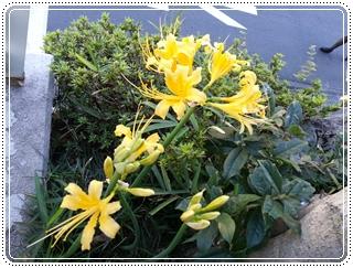 黄色い彼岸花 鎌倉